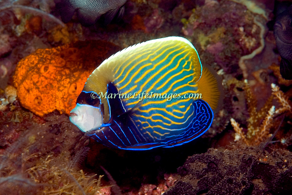 Emperor Angelfish inhabit reefs. Picture taken Komodo, Indonesia