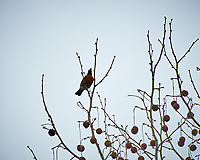 American Robin. Image taken with a Nikon D300 camera and 80-400 mm VR lens (ISO 200, 400 mm, f/5.6, 1/800 sec).