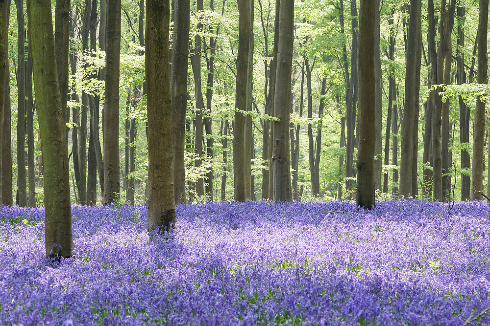 Classic English bluebells in Spring light and beechwood haze