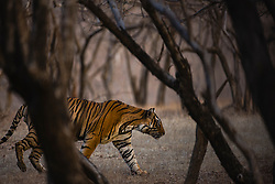 An obscured view of a walking Bengal tigress in the forest  (Panthera tigris tigris), Ranthambhore National Park, Rajasthan, India,