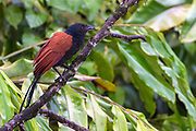 Greater coucal (Centropus sinensis) from Deramakot Forest Reserve, Sabah, Borneo.