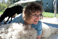 May 1, 2011 - Sonya Hanson, co-owner of Ice Pond Farms in Cranston, RI, uses her body weight to hold down an alpaca while it gets shorn. .