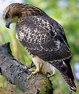 Wildlife Image - Red Tail Hawk