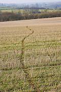 Badger trail across crop field, Gloucestershire, United Kingdom.