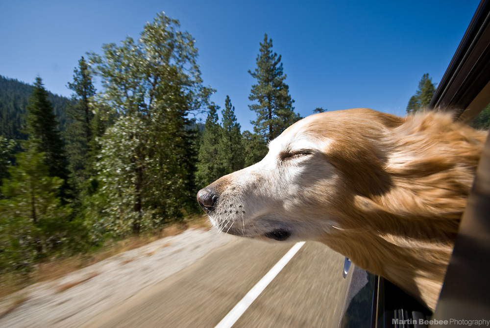 A golden retriever sticks her head out of a car window to enjoy the breeze