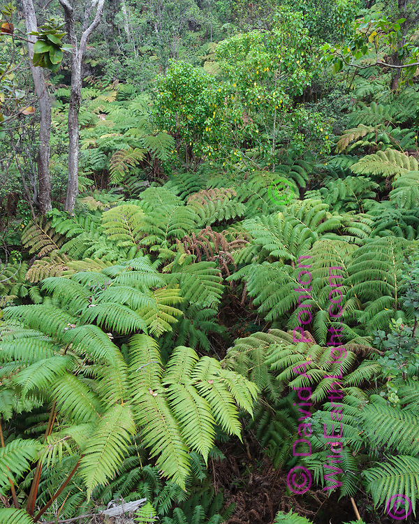 Hawaiian tree ferns (Cibotium splendens) also called the hapu'u, form a dominant understory in the understory of tropical rainforest in Hawaii Volcanoes National Park, © 2010 David A. Ponton