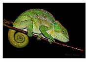 O'Shaughnessy's chameleon(from Ranomafana NP, eastern Madagascar.Nikon D850, 105mm, f20, 1/250sec, SB900 TTL flashlight, manual modus.