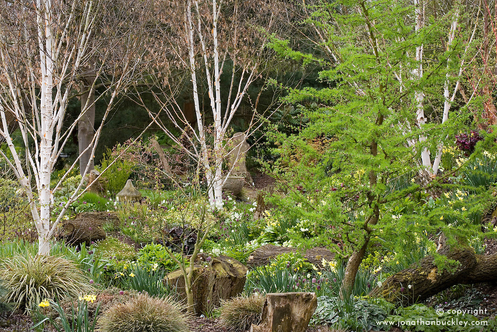 Spring bulbs amongst trees in John Massey's dell garden. Larix decidua 'Little Bogle' syn L. europaea (larch)  with Betula utilis var. jacquemontii (silver birch)