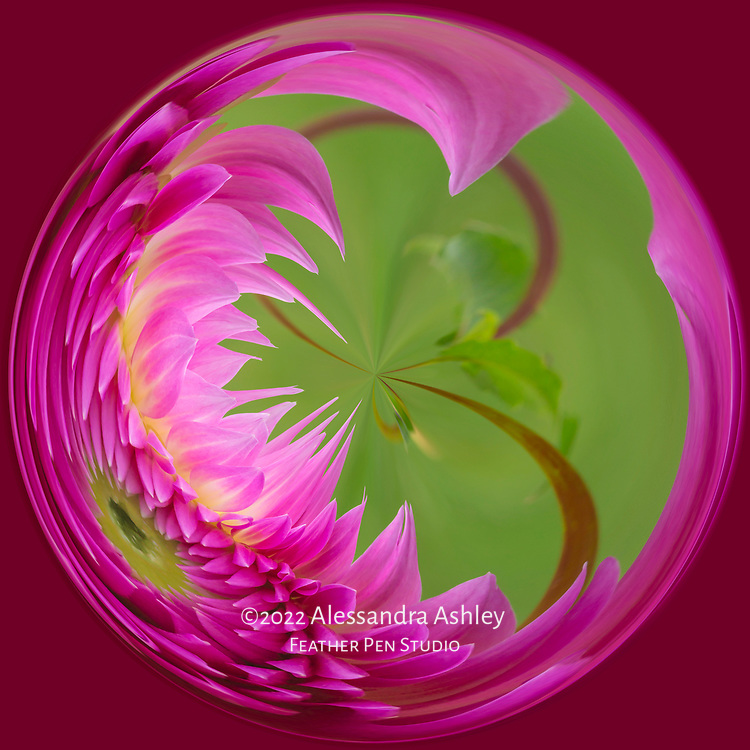 Hot pink dahlia growing in garden setting, processed with abstract crystal ball effect.