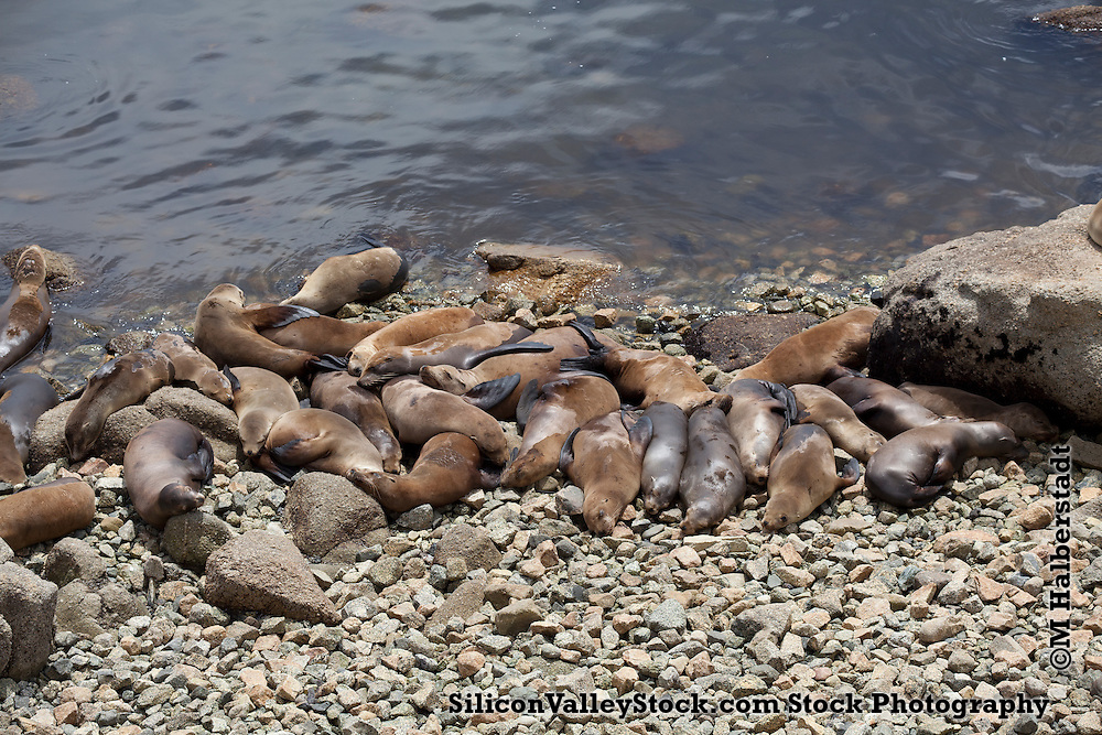 Seals on the Beach in Monterey, CA
