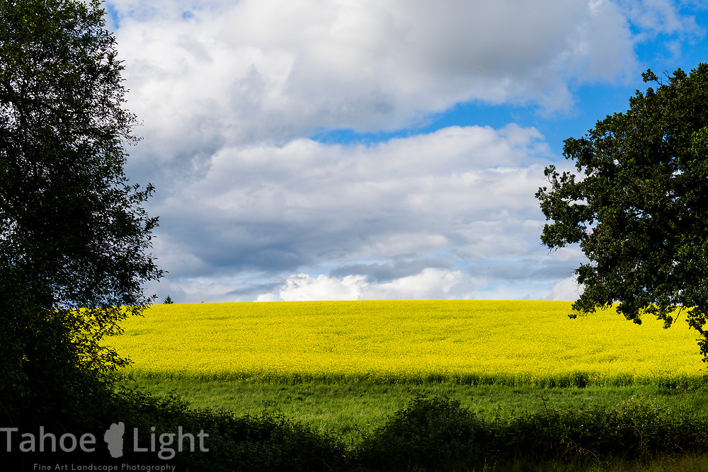 Yellow mustard flowers and a stormy sky in Central Oregon.