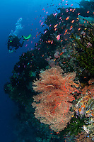 Ambon's south coast has some interesting dive sites, with dramatic caves and stunning topography.  Sea fans, sea whips and schooling fish are plentiful on the current-swept headlands.