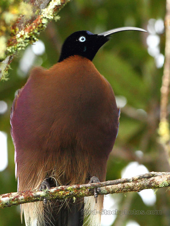 Brown Sicklebill, Epimachus meyeri, Papua New Guinea, by Markus Lilje