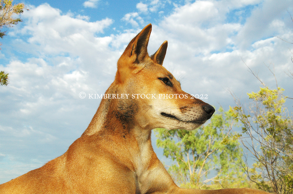 Honey, an Australian Dingo (Canis lupus dingo) rests on a rock at Mt Hart Wilderness Lodge on the Gibb River Road. As the apex predator, dingos play an important role in balancing the ecosystem and controlling feral cats.