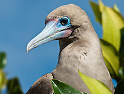 The Red-footed Booby (Sula sula) is a large seabird of the gannet family, Sulidae. Photo is from Isla Genovesa (or Tower Island, or Bird Island), a shield volcano in the Galápagos Islands, in the eastern Pacific Ocean. Sula sula breeds in colonies and is found widely on tropical islands. The Red-footed Booby is the smallest of all boobies at 71 cm in length and with a 137 cm wingspan, and has red legs with pink and blue bill and throat pouch. They are powerful and agile fliers but clumsy in takeoffs and landings. The brown morph of this species is brown with a white belly, rump, and tail. The white morph is mostly white with black on the flight feathers. Young birds are greyish with browner wings and pink legs. The sexes appear similar. National Park visitors follow licensed guides up the steep path of Prince Philip's Steps (up a cliff 25 meters vertically) to seabird colonies full of life amidst a thin palo santo forest growing in a rocky desert plain.