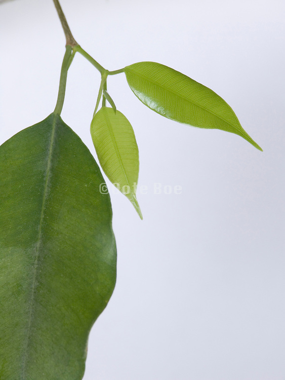 twig and bright green leaves