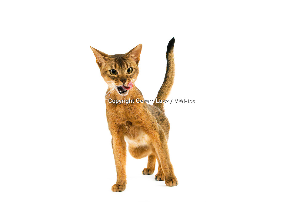 Abyssinian Domestic Cat, Adult Licking against White Background