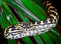 Jungle Carpet Python (Morelia spilota cheynei)