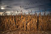 Corn Harvest 2008