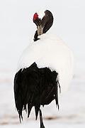 JAPAN, Eastern Hokkaido.Red-crowned crane (Grus japonensis).(IUCN 2010: Endangered)
