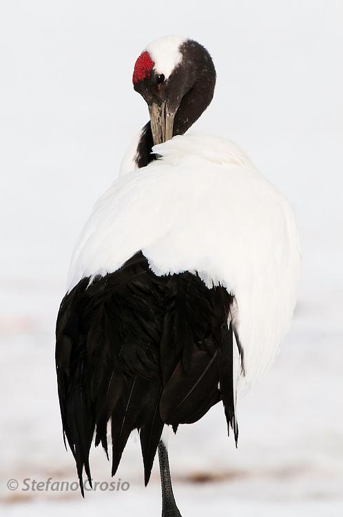 JAPAN, Eastern Hokkaido.Red-crowned crane (Grus japonensis).(IUCN 2010: Endangered)