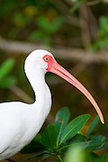 American White Ibis, Eudocimus albus, a wading bird with long curved bill, on Captiva Island, Florida USA