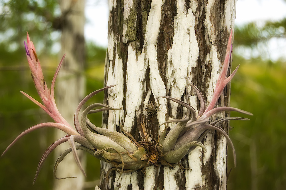 Potbelly airplant growing in the Everglades National Park. These are very common in the wetlands of South Florida, and are most often found on cypress trees.