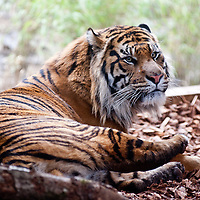 London, UK - 20th March 2013: ZSL London Zoo's brand new Sumatran tiger enclosure is officially opened by HRH The Duke of Edinburgh..Tiger Territory, a £3.6m project, is home to Jae Jae and Melati, Europe's most genetically important pair of Sumatran tigers who were matched by the global breeding programme for the critically endangered species. It opens to the public on Friday 22 March 2013.