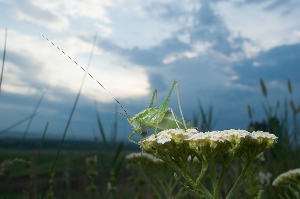Female Leptophyes punctatissima, speckled bush-cricket, in Moldova near adurea Domnesca National Park