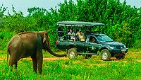 Safari vehicle passes an elephant, Udawalawe National Park, Sri Lanka. Udawalawe is an important habitat for water birds and Sri Lankan elephants.