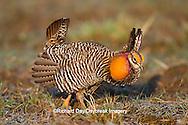 00842-03619 Greater Prairie-Chicken (Tympanuchus cupido) male booming/displaying on lek Prairie Ridge State Natural Area Jasper Co, IL