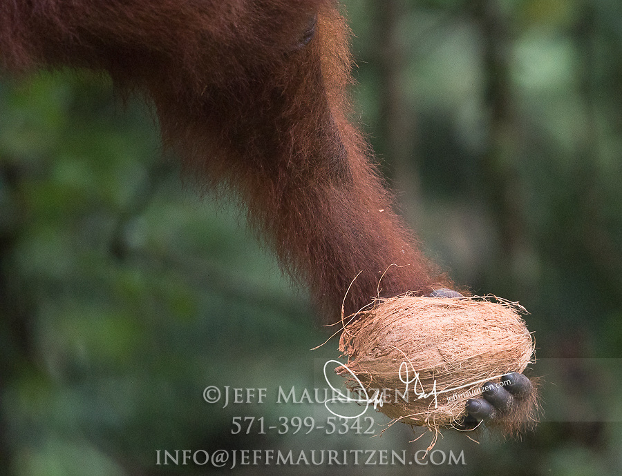 A Bornean orangutan holds a coconut in its hand in Indonesia.