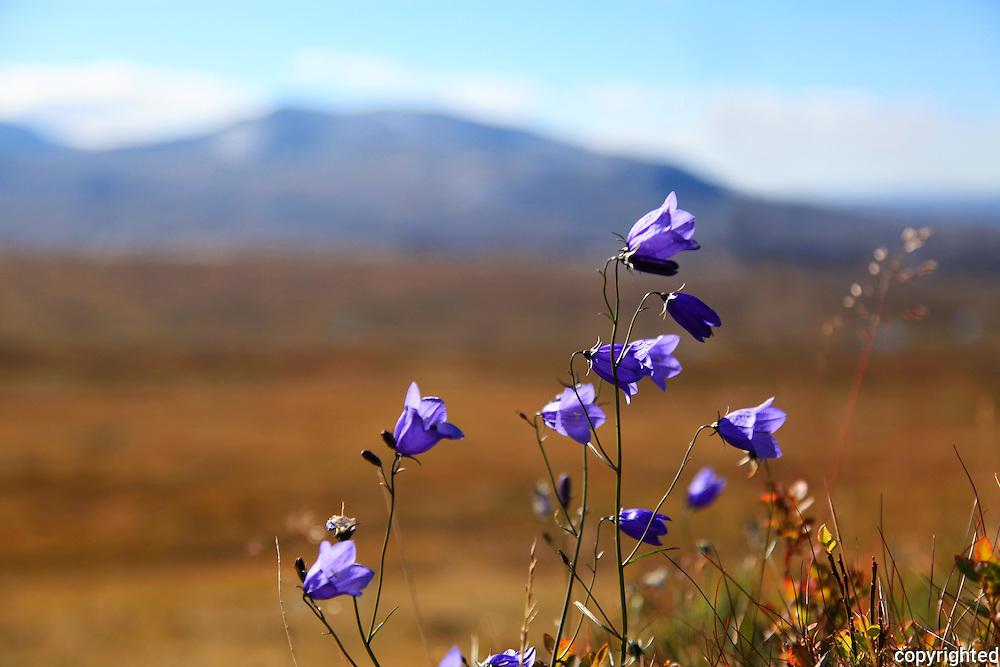 Wild bluebells grow everywhere around the Sylene mountains in Mid-Norway. Blåklokker overalt ved Sylene.