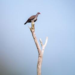 """""""Pomba-trocal (Patagioenas speciosa) fotografado em Linhares, Espírito Santo -  Sudeste do Brasil. Bioma Mata Atlântica. Registro feito em 2013.<br /> <br /> <br /> <br /> ENGLISH: Scaled Pigeon photographed in Linhares, Espírito Santo - Southeast of Brazil. Atlantic Forest Biome. Picture made in 2013."""""""