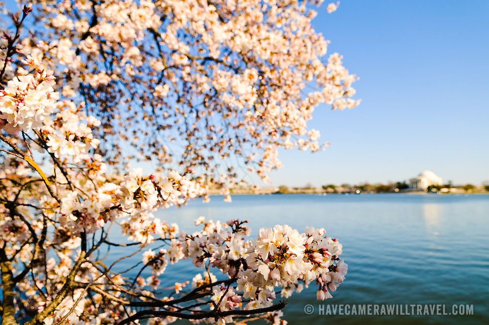 Cherry Blossom trees during peak bloom in 2011 around the Tidal Basin in Washington DC. The narrow depth of field focus is on the flowers in the foreground at left of frame. In the background at right of frame is the Jefferson Memorial.