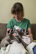 Raccoon <br /> Procyon lotor<br /> Volunteer, Shelly Ross, bottle-feeding six-week-old orphaned babies in foster home<br /> WildCare, San Rafael, CA<br /> *Model release available