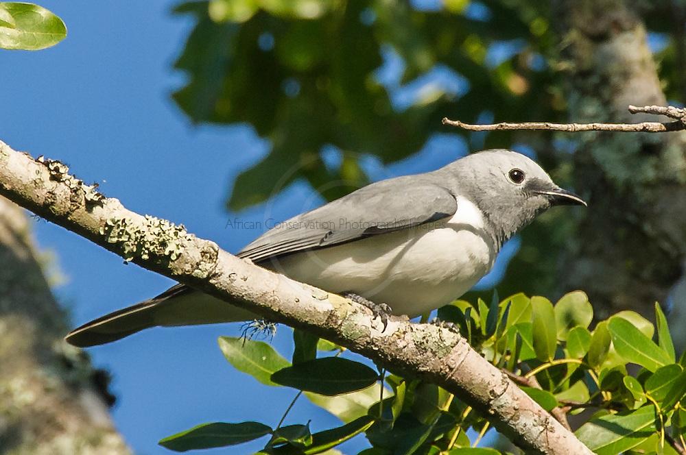White-Breasted Cuckoo-Shrike, Panda, Inhambane Province, Mozambique