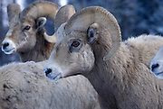 A  young bighorn ram (Ovis canadensis canadensis) portrait. Lostine Ridge, Wallowa Mountains, Oregon.