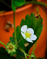 Late season strawberry flower. Image taken with a Fuji X-H1 camera and 80 mm f/2.8 macro lens + 1.4x teleconverter.