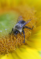 Roslyn Heights, NY: A bee hard at work on a sunflower. © Audrey C. Tiernan