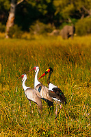 Wattled cranes and saddle-billed stork, near Kwara Camp, Okavango Delta, Botswana.