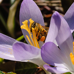 honingbijen, honey bee, Apis mellifera