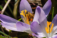 honingbijen, honey bee, Apis mellifera