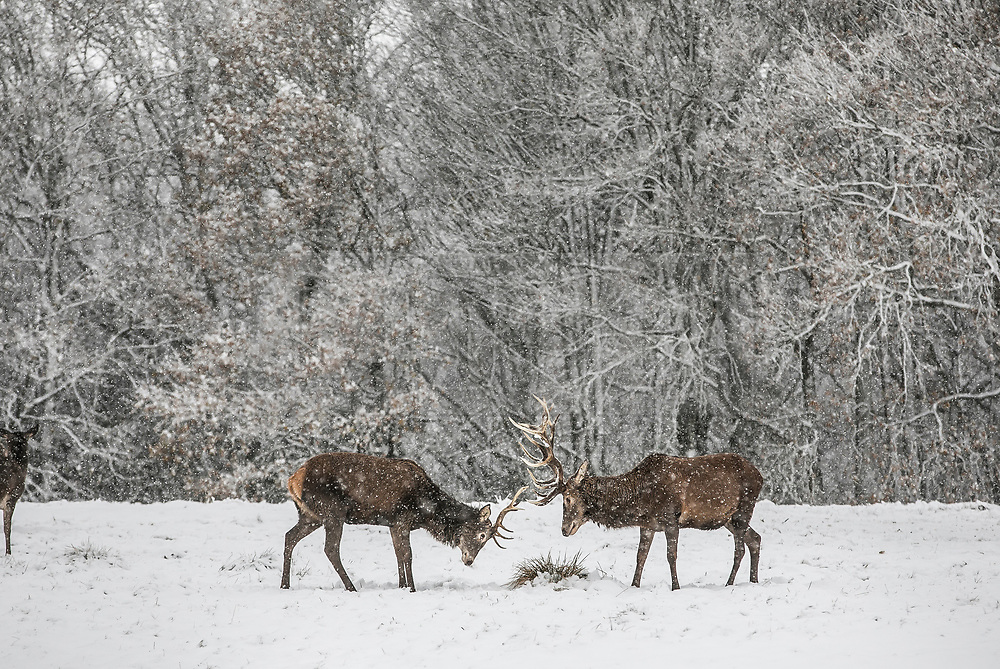 © Licensed to London News Pictures.<br /> ESSEX,UK. 10/12/2017. Red Deer stags on a snowy morning in Bedford Park Essex<br /> Photo credit: Andrew Baker/LNP