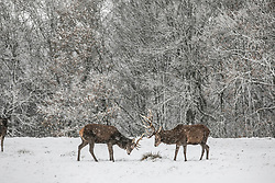 &copy; Licensed to London News Pictures.<br /> ESSEX,UK. 10/12/2017. Red Deer stags on a snowy morning in Bedford Park Essex<br /> Photo credit: Andrew Baker/LNP