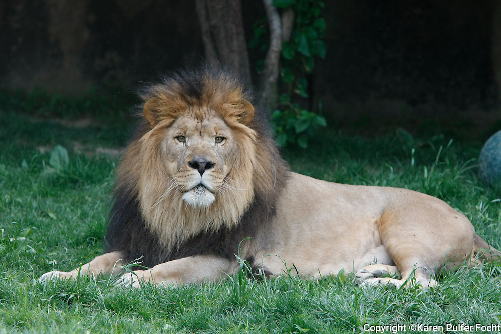 Lions, at The Memphis Zoo, Memphis, Tennessee