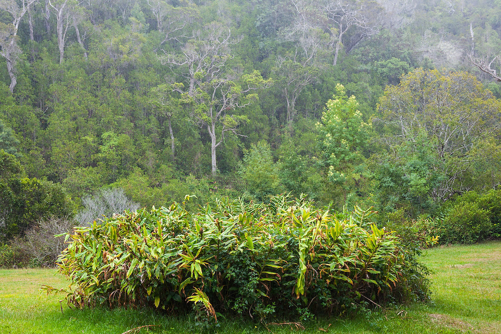 A patch of invasive yellow ginger (Hedychium flavescens) kept in check on the mowed lawn of Canen Hookano's cabin in Kokee State Park, Kauai, Hawaii.