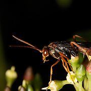 A Pompilidae wasp, commonly knon as spider wasps.