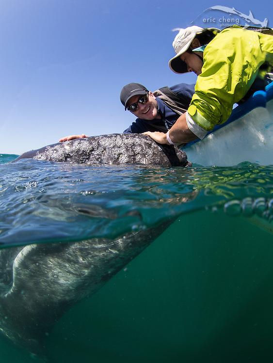 Eddie Kisfaludy and Brian Lam pet a baby gray whale (Eschrichtius robustus), which has approached our panga in Laguna San Ignacio, Baja California, Mexico
