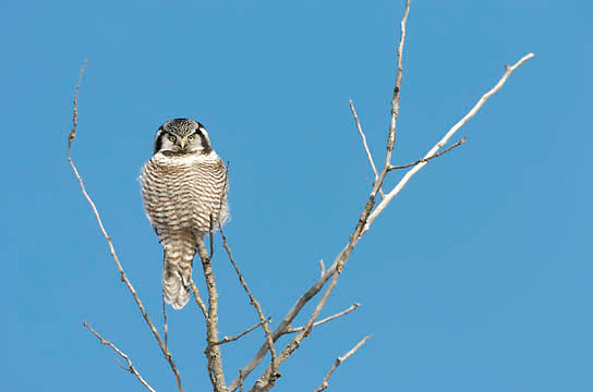 Northern Hawk-Owl (Surnia ulula) Perched in tree. Northern Minnesota. January. Winter.